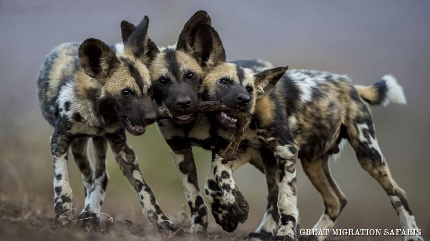 african wild dogs in a playful mood