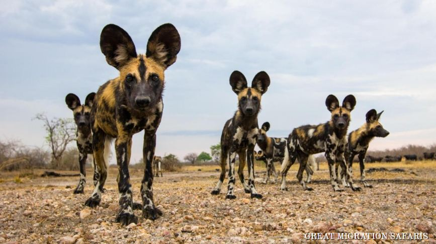 3 African wild Dogs