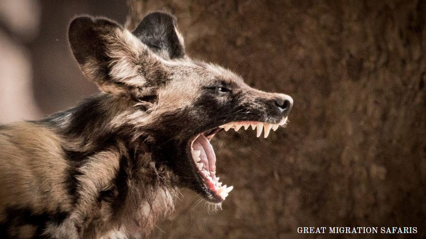 Endangered african wild dogs
