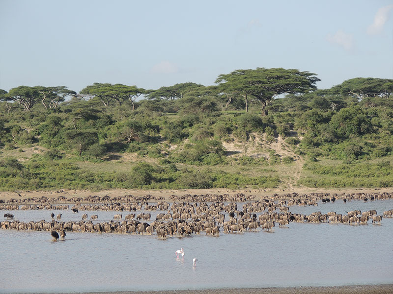 Great Wildebeest Migration Safari